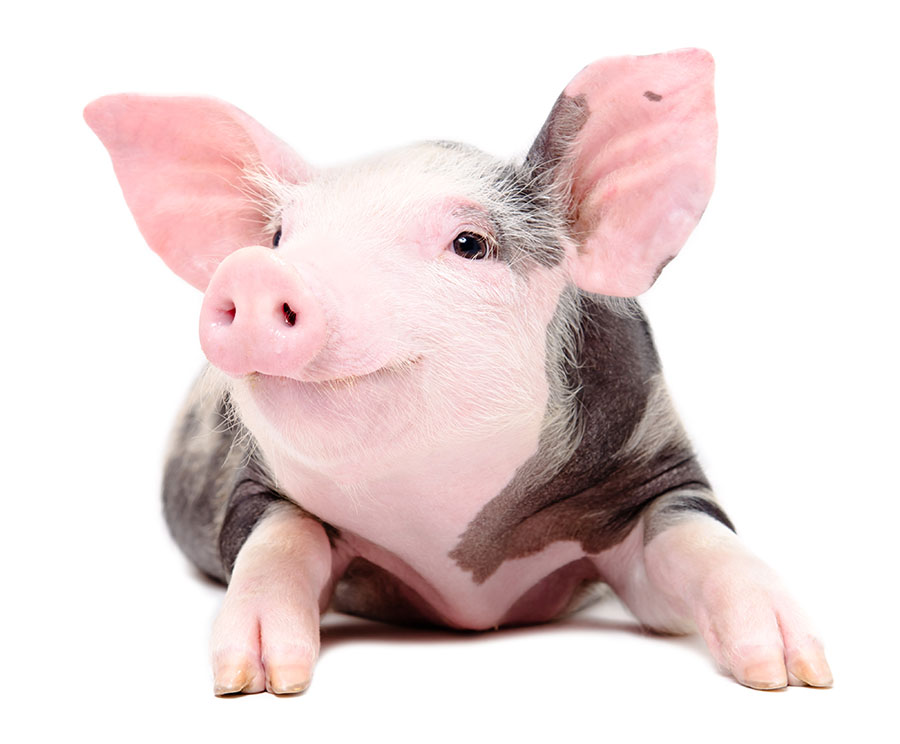 Become a Priority in the Year of the Earth Pig